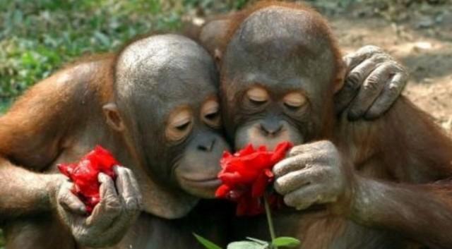Orangutans smelling roses